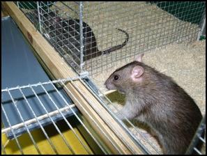 pulling_rat1